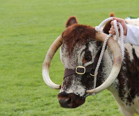 longhorn cattle: El Jefe de un Hermoso Longhorn Cattle