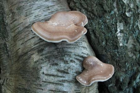 Two Bracket Fungi Growing on a Silver Birch Tree Trunk Stock Photo - 25527429