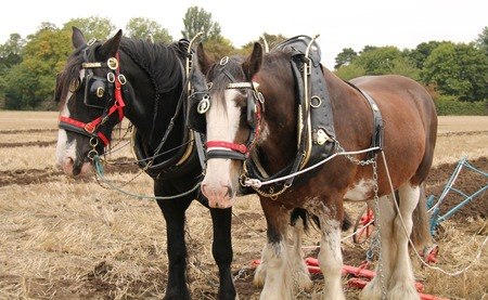 plough machine: Two Large Working Horses Pulling a Farm Plough  Stock Photo