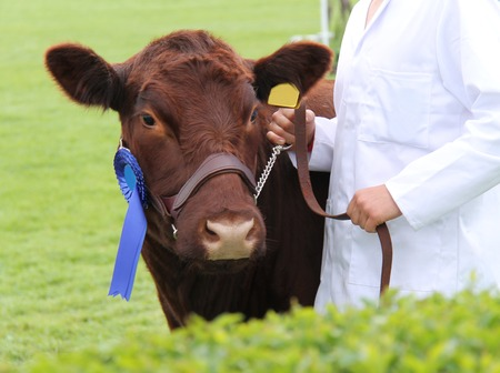 チャンピオンのリンカーン赤い賞受賞牛 写真素材