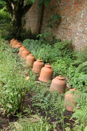 forcing: A Row of Terracotta Rhubarb Forcing Pots
