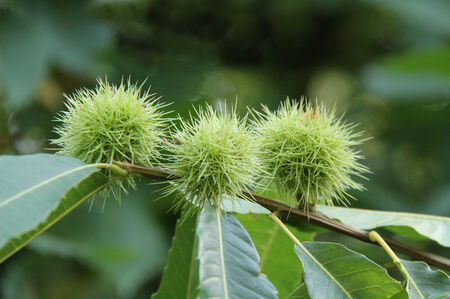Three Horse Chestnut Fruits on a Conker Tree. photo