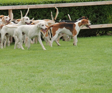 hounds: A Pack of Hunting Hounds in a Field Enclosure.