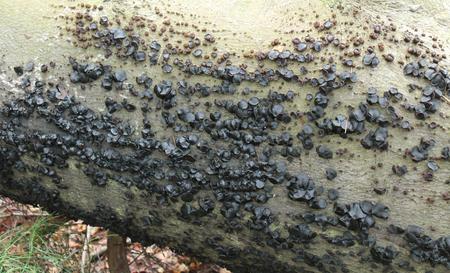 fungi woodland: Black Bulgar Fungi Growing on a Fallen Woodland Tree.