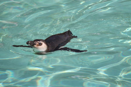 gracefully: A Magellanic Penguin Gracefully Swimming in Water. Stock Photo