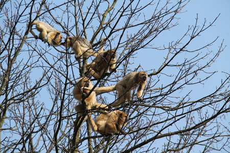 howler: A Group of Black Howler Monkeys in a Tree Top.