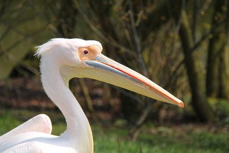 peck: The Impressive Head of an Eastern White Pelican Bird.
