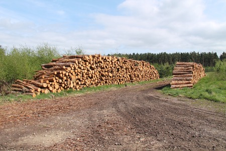 forestry: Two Stacks of Freshly Cut Pine Forestry Logs. Stock Photo