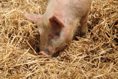 animales de granja: Un cerdo joven que disfruta de una cierta hora en una cama de paja. Foto de archivo