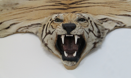 tiger skin: The Head and Skin of a Trophy Tiger Animal. Stock Photo