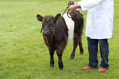 tether: A Young Brown and White Belted Galloway Calf.