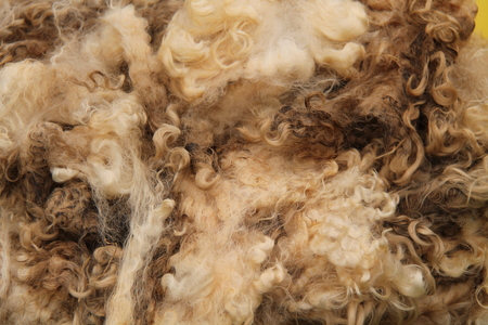 recently: A Recently Sheared Wool Fleece from a Sheep.