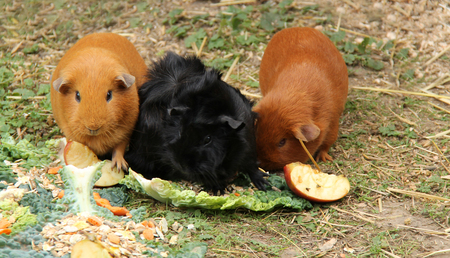 cavie: Three Guinea Pigs Eating Fruit Vegetables and Cereals. Archivio Fotografico