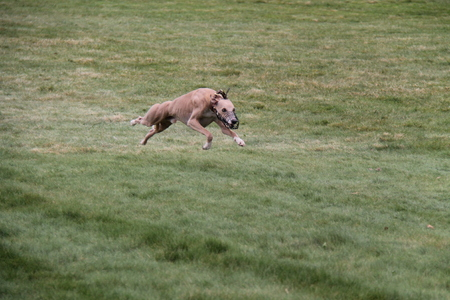 lurcher: A Lurcher Chasing a Lure in a Dog Race.