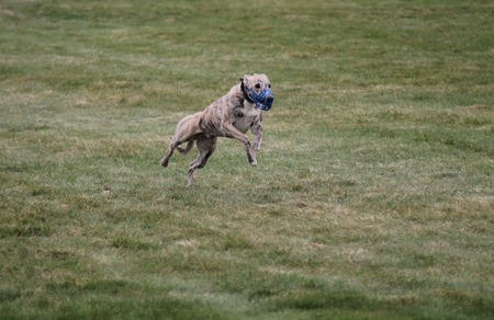 A Lurcher Dog Running in a Race on a Grass Field.