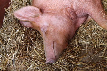 The Head and Shoulders of a Large Sleeping Pig. Stock Photo