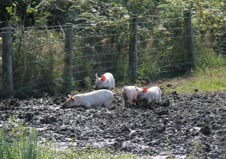 Four Farm Welsh Pig Piglets Playing in the Mud. Stock Photo