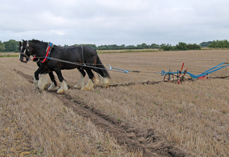 Two Heavy Shire Horses Pulling a Hand Steered Plough.