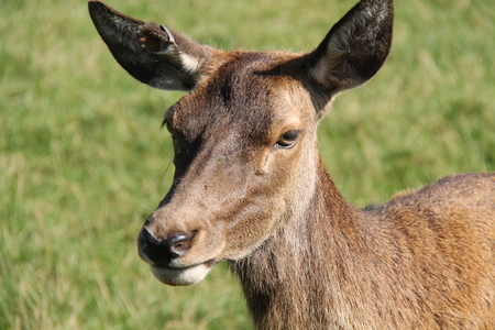 The Head of a Large Female Doe Red Deer.