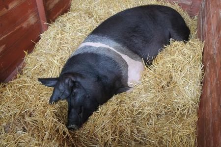 A Champion British Saddleback Pig Resting on Straw.