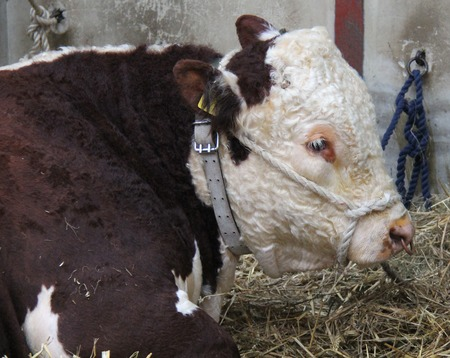 The Head of a Large Powerful Hereford Bull Animal.