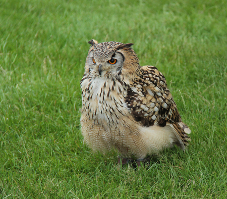 A Magnificent Eagle Owl Sitting in a Grass Field. Stock Photo