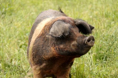 The Head of a Typical Farmyard Saddleback Pig.
