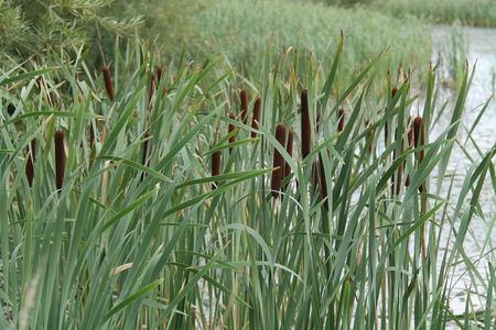 Bullrush Reed Plants Growing on the Edge of a Pond.