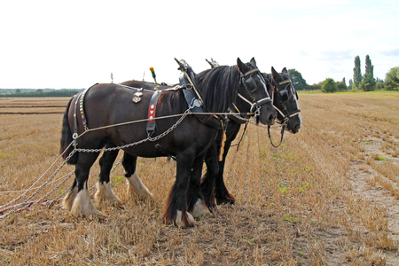 A Pair of Farm Heavy Horses with Ploughing Harnesses. Stock Photo