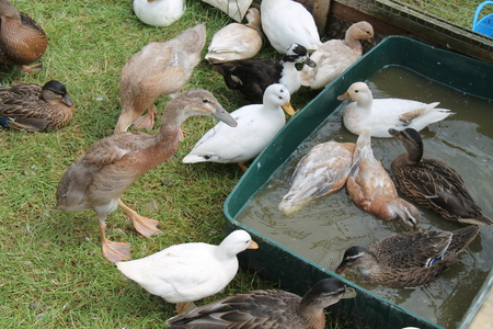 A Mixed Collection of Ducks in a Small Farmyard Setting. Banco de Imagens