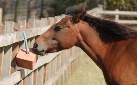 A Horse Nibbling from a Mineral Lick Feeding Block. Stock Photo