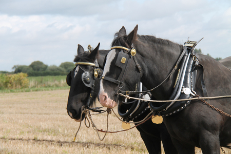 Two Heavy Working Horses Fitted with a Plough Harness. Stock Photo - 119160203