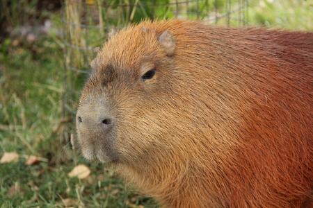 La tête d'un grand animal capybara d'Amérique du Sud.
