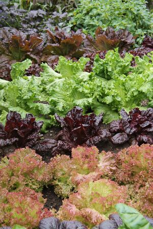 A Healthy Collection of a Mixed Salad Leaf Crop.