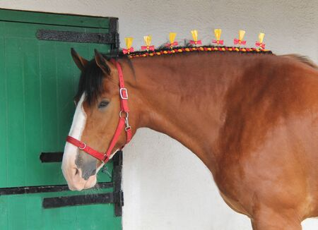 The Ribbon Decorated Mane of a Brown Show Horse.