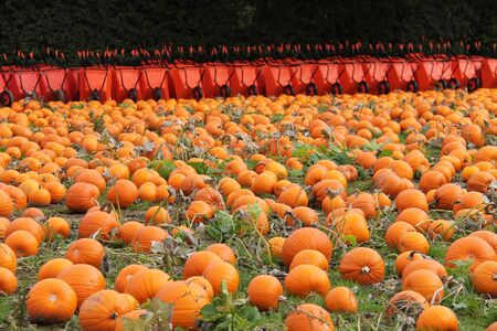 A Field of Pumpkins with Wheelbarrows for Harvesting.