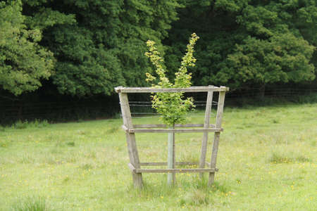 Young Sapling Tree with a Protective Wooden Surround. 写真素材