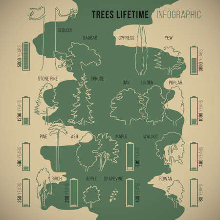 yew: Tree lifetime infographic of duration of life various types of trees with proportionate schematic silhouettes and symbolic duration measurement vector