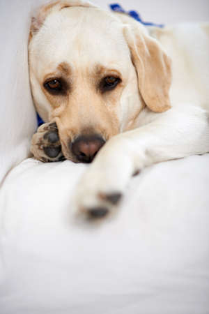 Golden labrador taking a rest lying on a couch looking at the camera with soulful brown eyes photo