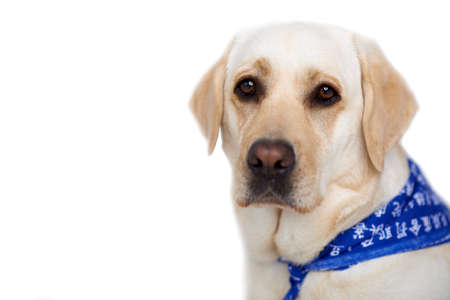 soulful eyes: Beautiful golden labrador wearing a blue bib sitting looking at the canera with large soulful brown eyes against a white studio background with copyspace Stock Photo