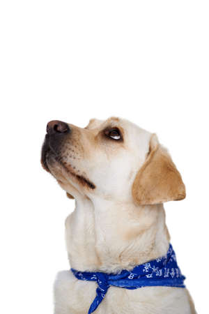 Beautiful golden labrador dog sitting looking up with beseeching eyes towards blank white copyspace Stock Photo - 17337204