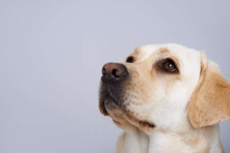 Closeup of the head and eyes of a loving golden labrador retriever looking up towards blank grey studio copyspace Stock Photo - 17337209
