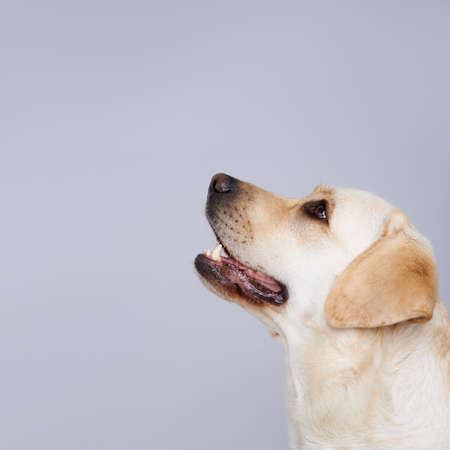 Side view portrait of the head of a golden labrador retriever looking up towards blank copyspace on a grey studio background photo