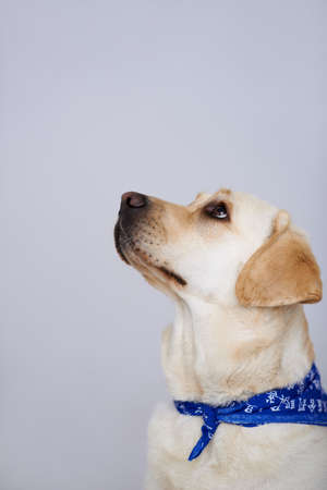 Faithful golden labrador looking up watching its owner with loving eyes, studio portrait on grey with copyspace above the dog's head Stock Photo - 17337212