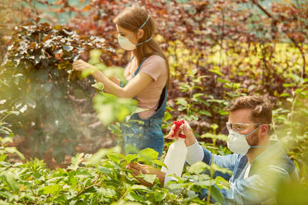 Gardeners man and woman in respirators taking care of plants and fertilizing it with sprayers in the hothouse. Stock Photo