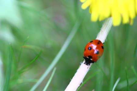 Ladybird and yellow dandelion Stock Photo - 5622073
