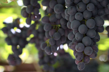 bunches: Blue bunches of grapes in the sunshine