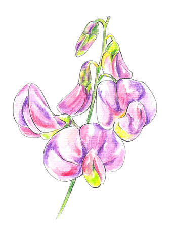 Sweet Peas (lathyrus). Watercolour pencils and a watercolors drawing