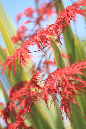 Acer japonicum and palm near the pool Stock Photo - 7116081