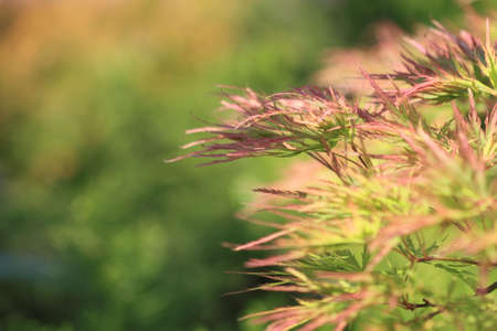 aceraceae: Acer japonicum in the garden in the summer day